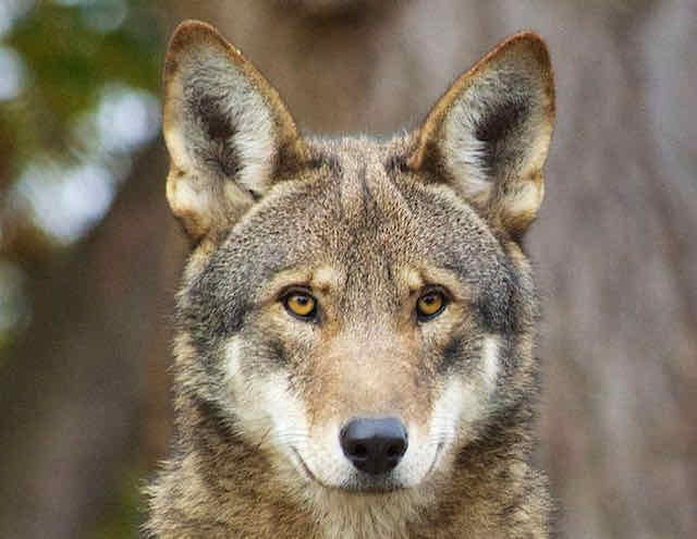 An American red wolf looks at the camera, in a photo taken by Becky Bartel of the U.S. Fish and Wildlife Service.