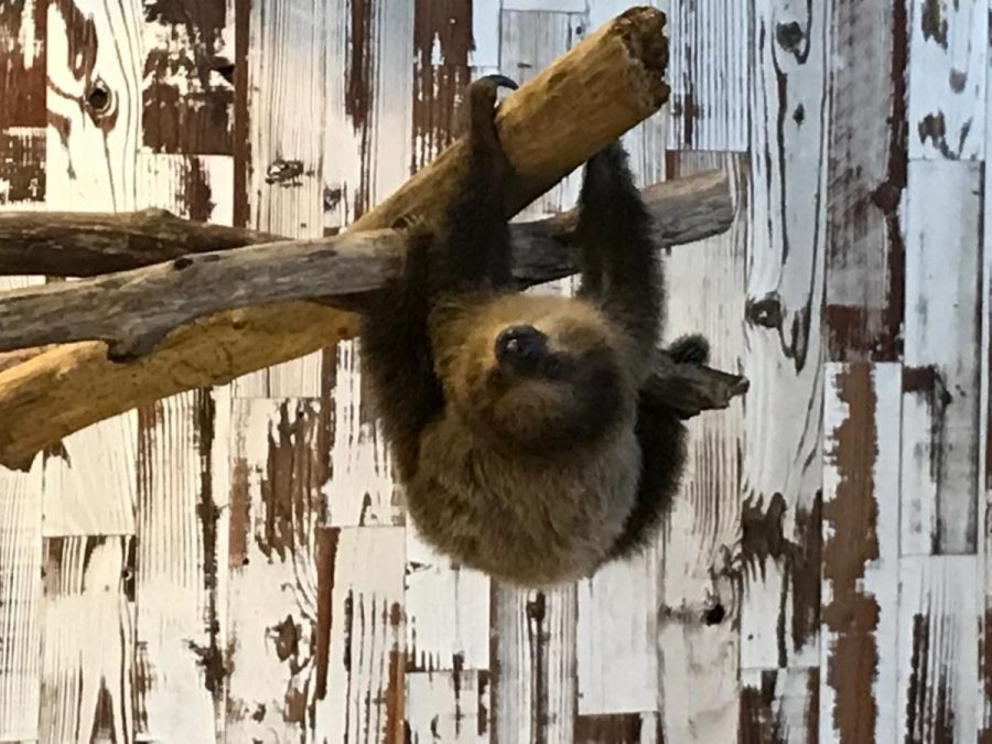 During the St. Louis Aquarium's closure, the attraction is offering 'Breakfast with the Sloth' with Coconut the Sloth, above.