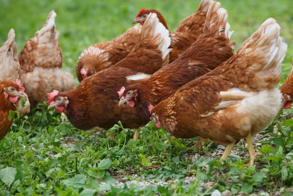 Free-range+hens+%28chicken%29+on+an+organic+farm%2C+freely+grazing+on+a+meadow.+Organic+farming%2C+animal+rights%2C+back+to+nature+concept.