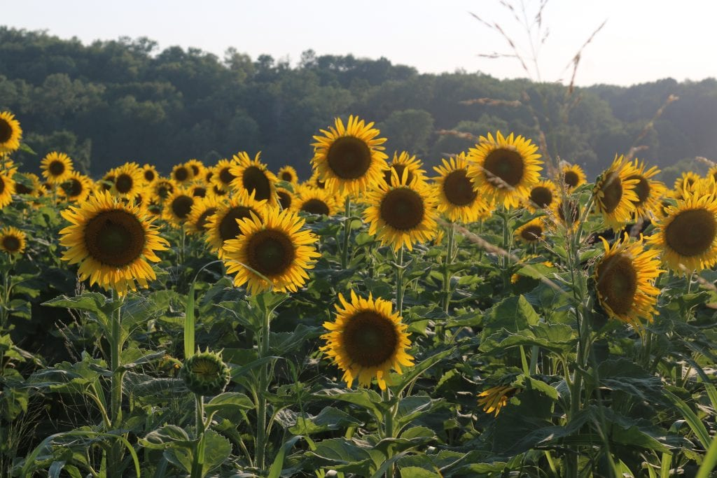 Columbia+Bottom+sunflowers+gain+popularity+with+extended+growing+season