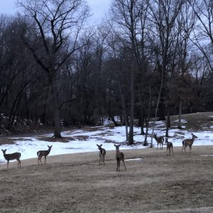 Deer set to be hunted in county parks, Jefferson Barracks