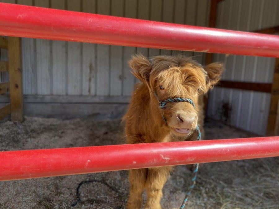Maggie+Scottish+Highland+heifer+Suson+farm+2