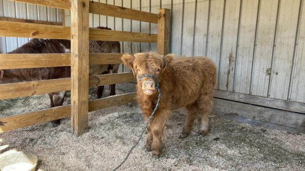 Maggie the Scottish Highland heifer is a new addition to Suson farm.