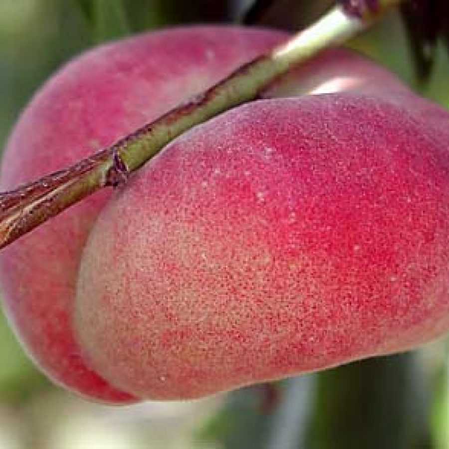 A ripe Saturn donut peach can be a delicious and healthy snack.